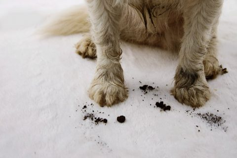 Dirty pet on the carpet